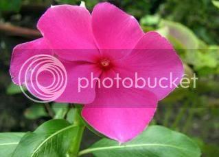 bunga kemunting cina berwarna merah