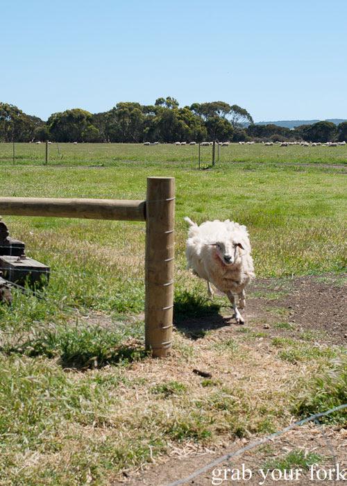 Running sheep at Island Pure Sheep Dairy and Cheese Factory