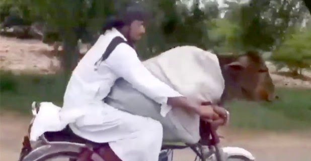 Watch Viral Video: Pakistani Man Rides a Motorcycle alongside a Cow Sitting Calmly in Front, See how Twitterati Reacted!