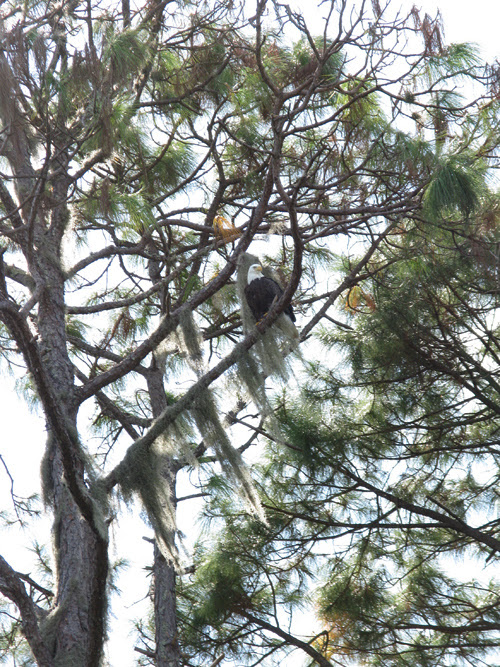 a bald eagle in a pine tree, Weeki Wachee, Florida