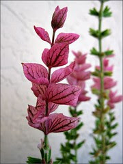 Salvia, Marble Arch Mix