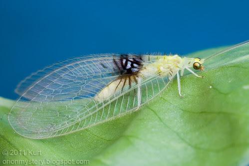 Semachrysa jade new lacewing species ...IMG_1596 copy