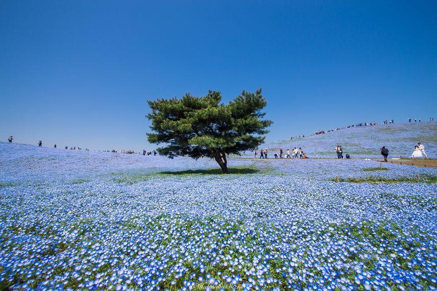 fotografia-flores-nemophila-japon-hidenobu-suzuki (1)