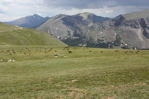 Elk Herd on the Tundra