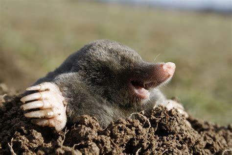 Mole Removal Genesee County   Michigan