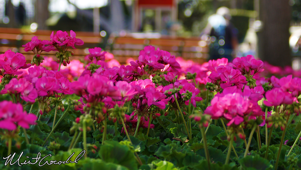 Disneyland Resort, Disneyland, Main Street U.S.A., Flowers, Nature, Spring