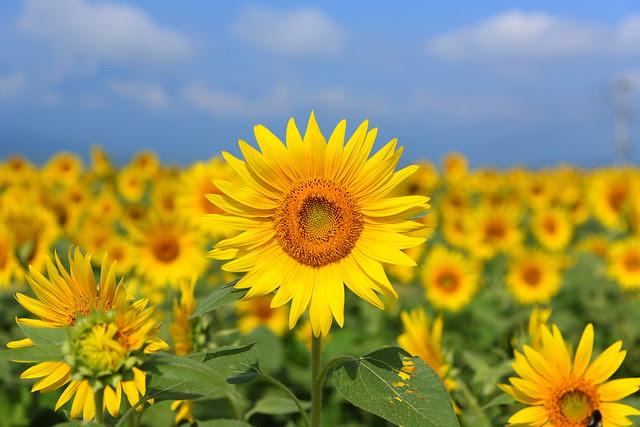 sunflower, field, flower