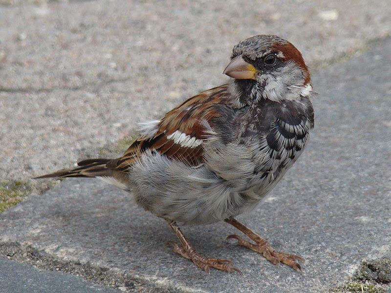 File:House Sparrow-Mindaugas Urbonas-2.jpg