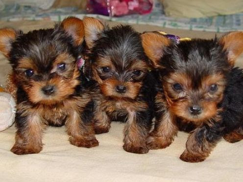 Star Yorkie Kennel Home Teacup Puppies