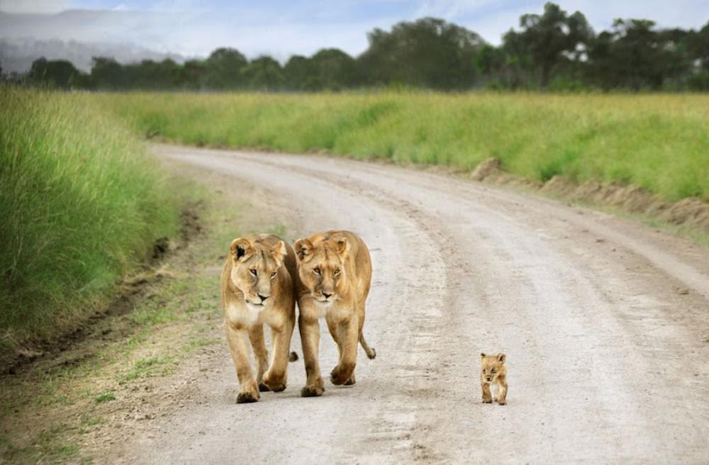 Ένα λιονταράκι στην Κένυα περπατάει  μαζί με τους γονείς του που το κοιτάνε με καμάρι .