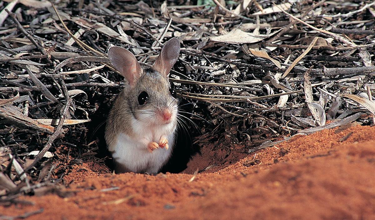_Spinifex hop mouse Bush Heritage Cravens Peak Reserve Photo_Jiri Lochman
