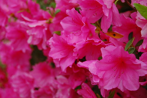 Azaleas in our front yard