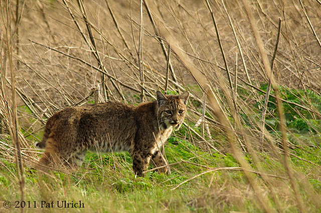 Lynx rufus among the branches - Pat Ulrich Wildlife Photography
