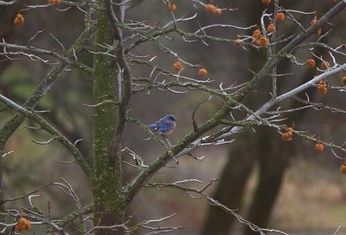jan 21 2012 western bluebird sma