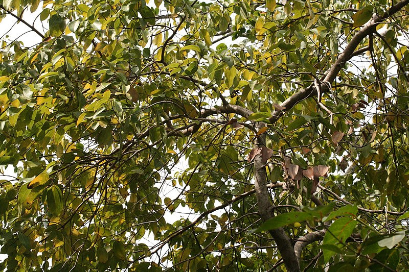 Archivo:Cinnamomum verum sey.jpg