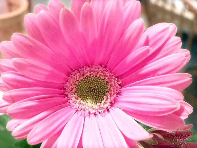 DSCN0293 Gerbera Daisy