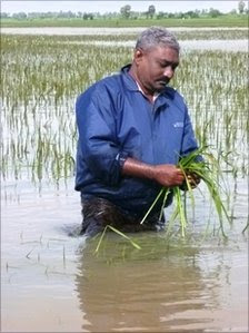 Ahmed Lebbe, a farmer, wades through paddy crops in flood-hit Sri Lanka, January 2011