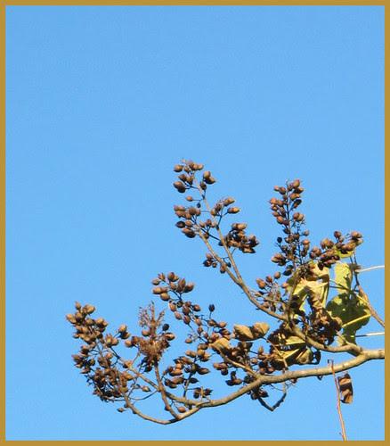 12 paulownia bells