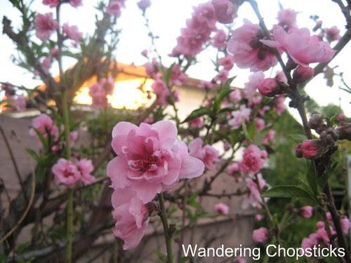 2.7 Nectarine Blossoms 1
