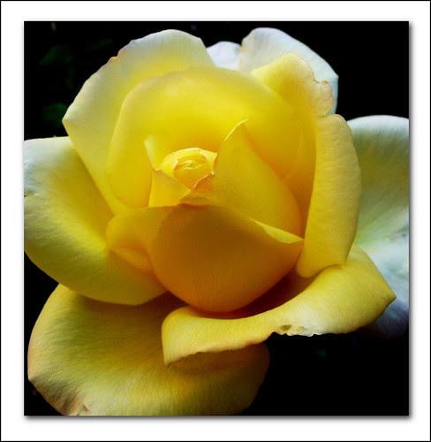 la misma rosa de antes en su color natural