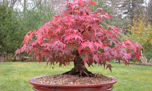 Indian Nursery Maple Bonsai Exporter Retailer And Supplier In Hooghly India