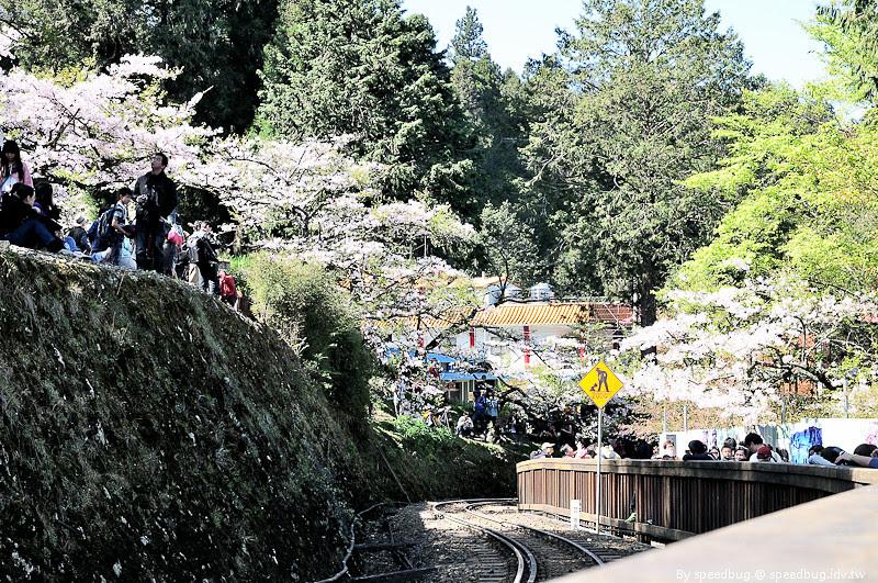 阿里山櫻花季37