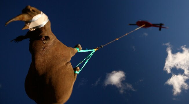 A black rhino is transported by helicopter to avoid poachers in South Africa in this undated photo.