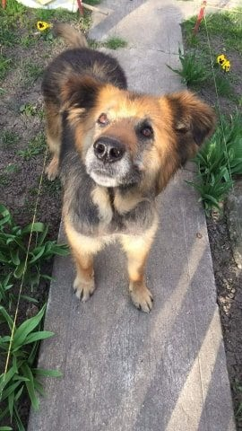 Codru – 5 year old male German Shepherd Cross