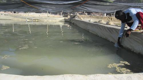 Sea Cucumber aquaculture