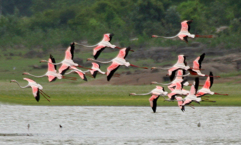 File:Greater Flamingoes (Phoenicopterus roseus) landing W2 IMG  9863.jpg