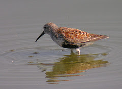 Dunlin - breeding