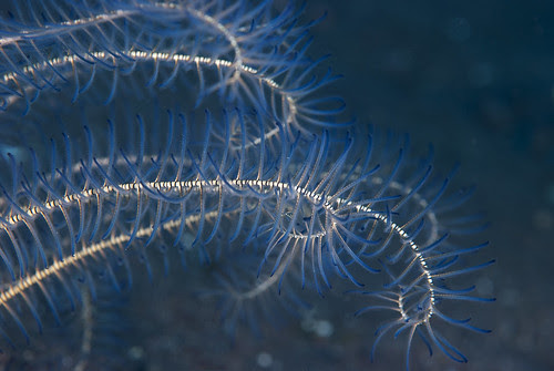 Just a crinoid (Oxycomanthus sp.)