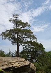 srock_tree