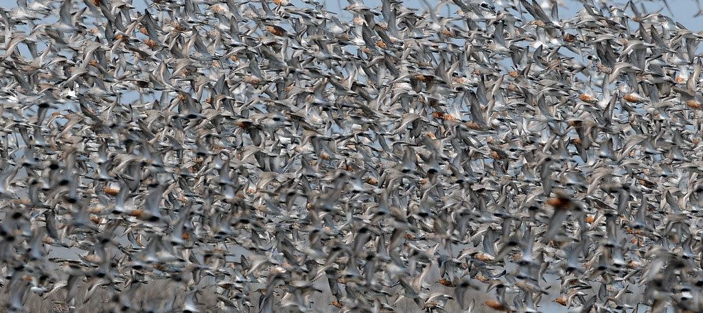 Wader Flock 1