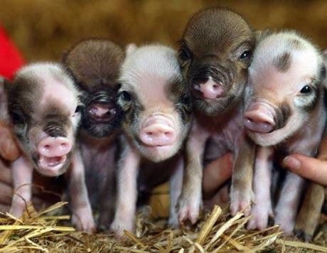 miniature pigs