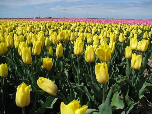 holanda amarela