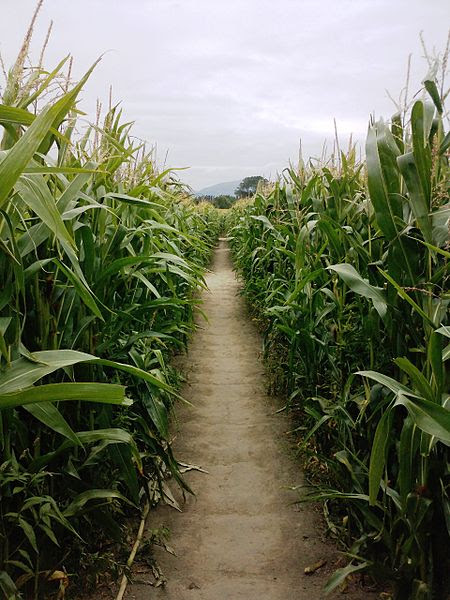 File:Inside a corn maze near Christchurch, New Zealand.JPG