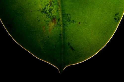 Rubber plant leaf
