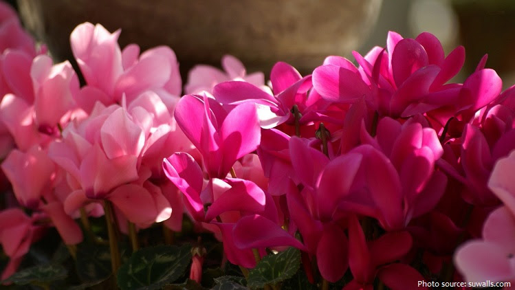 Interesting Facts About Cyclamens Just Fun Facts
