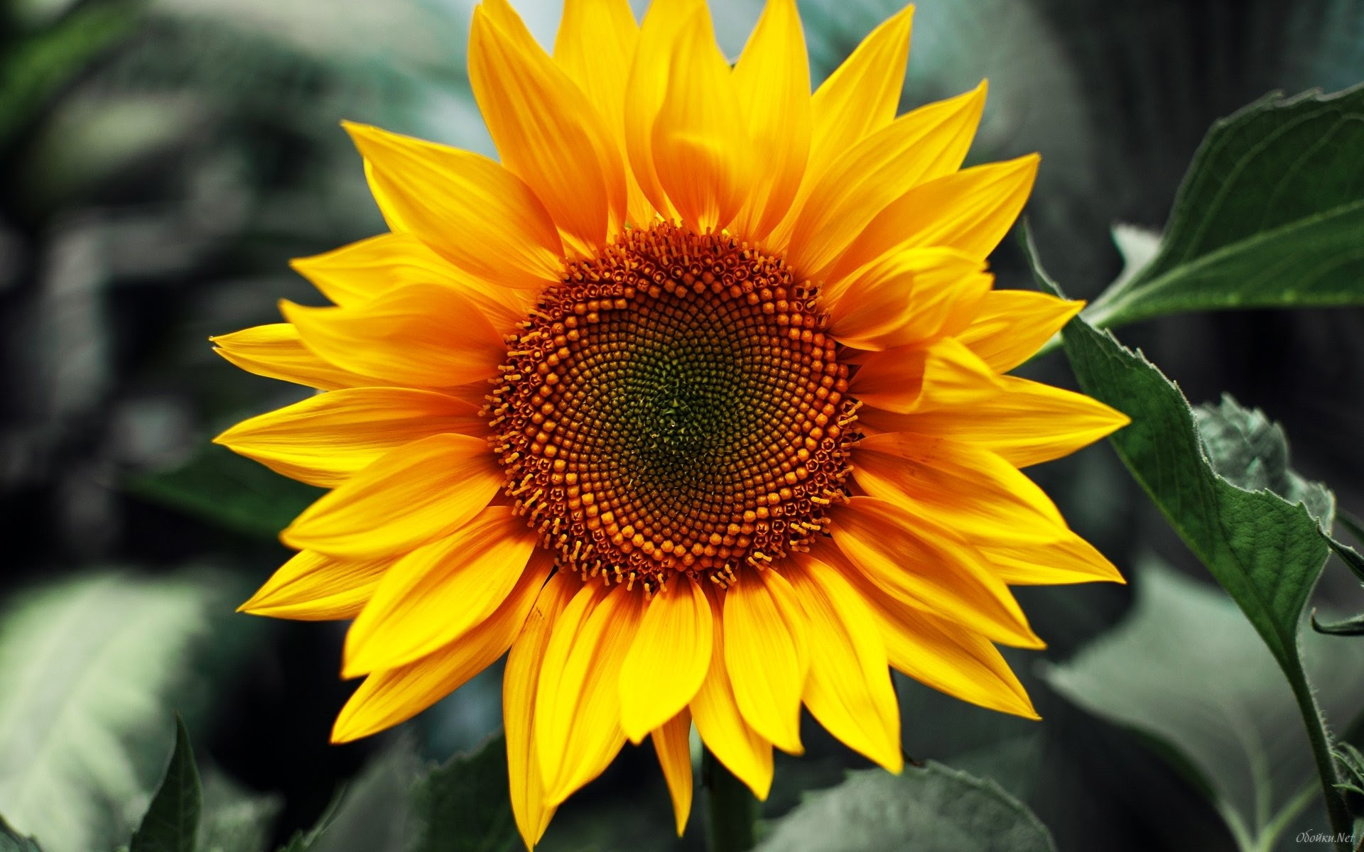 HD Sunflower Wallpaper - WallpaperSafari