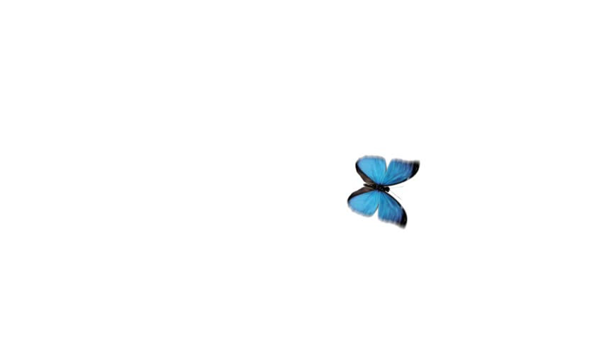 Beautiful Blue Butterfly Flying With Alpha Channel HD ...