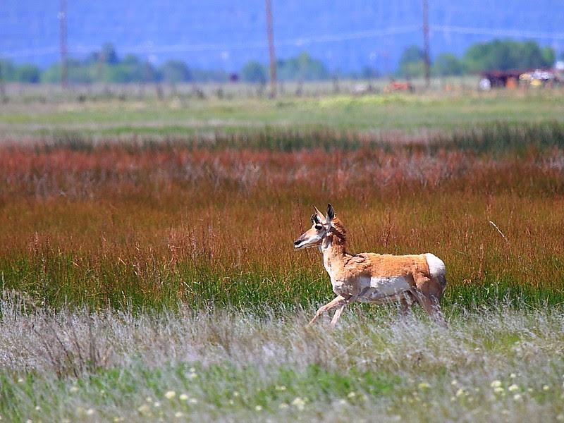 IMG_6251 Pronghorn, Ash Creek Wildlife Area