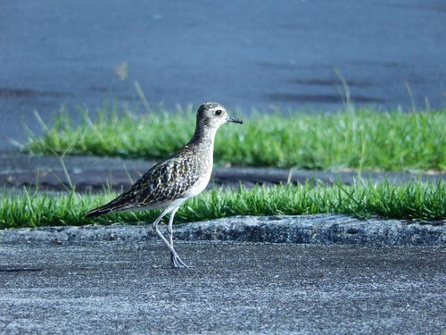 Kolea, or Pacific golden plover