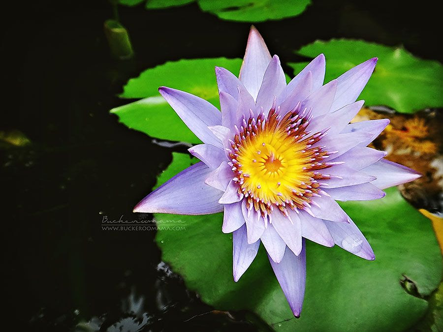 Wed - Jun 11, 2014 photo Water-lily-1_zpsb964e17b.jpg