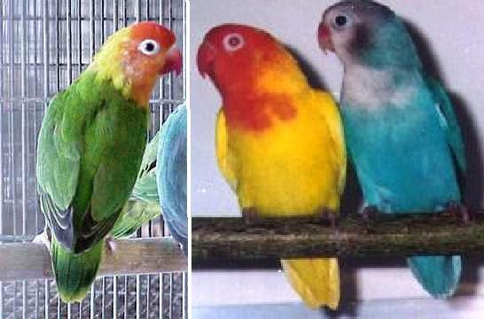 Jenis  warna  dan penyebaran lovebird love bird LB  KLUB