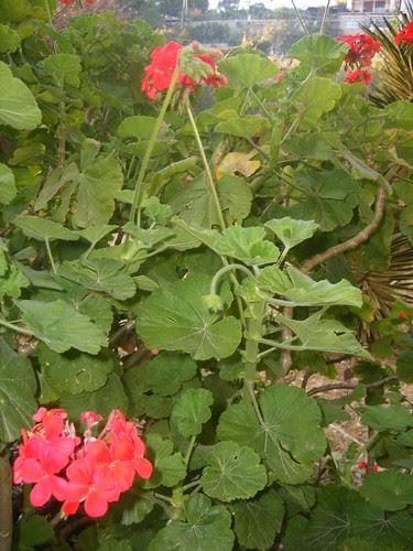 Los geranios zonales (Pelargonium zonale) by Calogero Mira