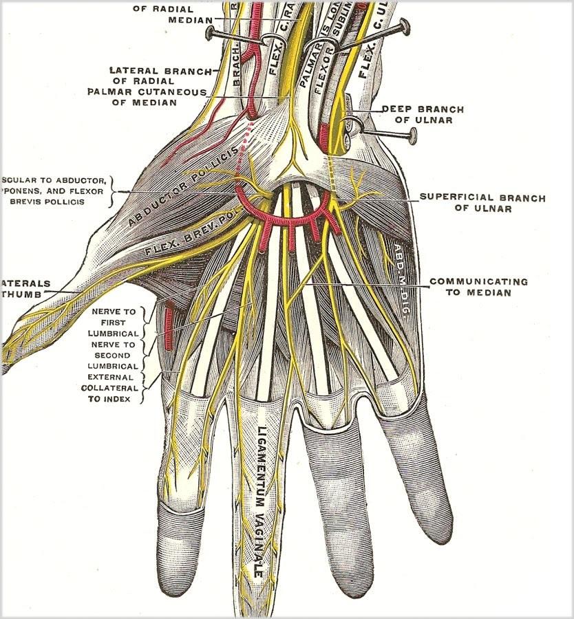 human-hand-nerves - EMCAGE