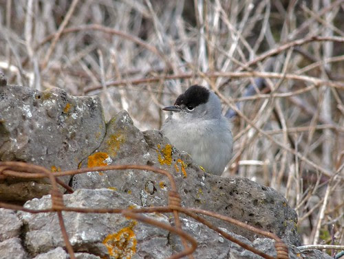 12208 - Male Blackcap at Rhossili