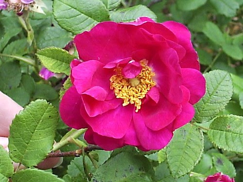 Apothecary's Rose