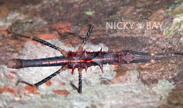 Stick Insect (Phasmatodea) - DSC_2022
